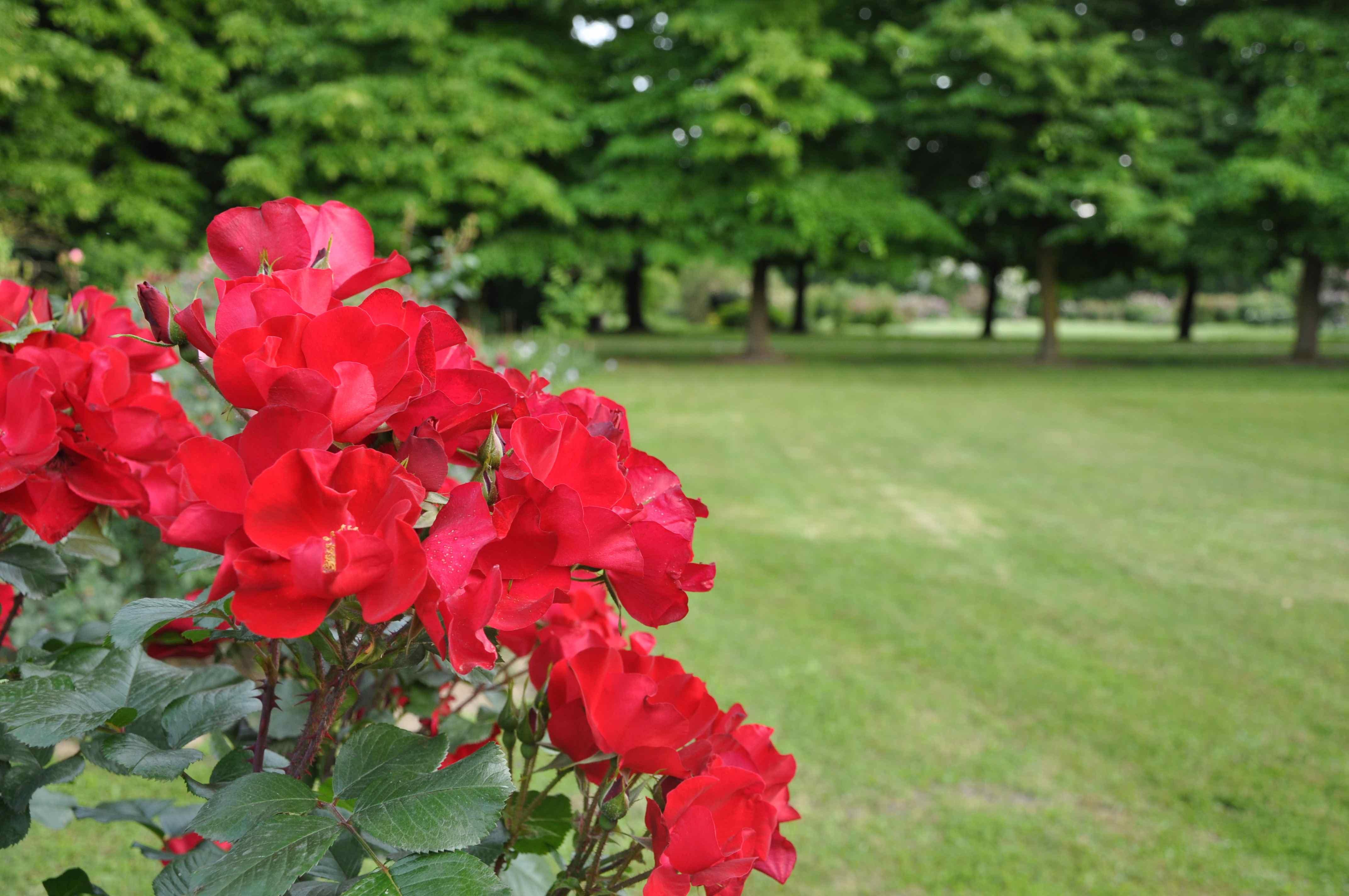 2010 rose - 03947